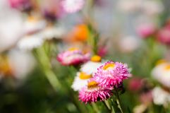 Flor rosada de la paja Imagen de archivo