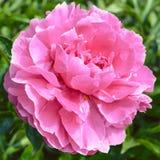 Flor rosada de la peonía Foto de archivo libre de regalías