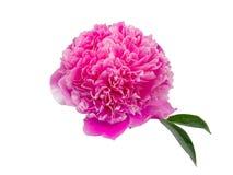 Flor rosada de la peonía aislada en el fondo blanco Imagen de archivo libre de regalías