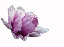 Flor rosada de la peonía aislada en el fondo blanco Imágenes de archivo libres de regalías