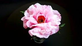 Flor rosada de la peon?a, suffruticosa del Paeonia, aislado en negro metrajes