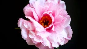Flor rosada de la peon?a, suffruticosa del Paeonia, aislado en negro almacen de metraje de vídeo