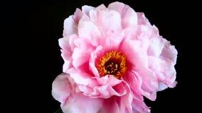 Flor rosada de la peon?a, suffruticosa del Paeonia, aislado en negro almacen de video