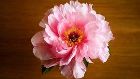 Flor rosada de la peon?a, suffruticosa del Paeonia, aislado encendido en un de madera metrajes