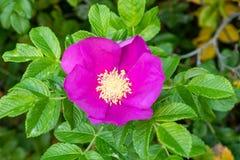 Flor rosada de la perro-rosa Fotos de archivo libres de regalías