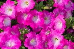 Flor rosada de la petunia Fotografía de archivo libre de regalías