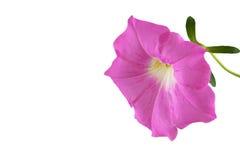 Flor rosada de la petunia Fotos de archivo