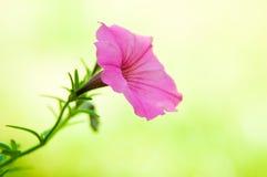 Flor rosada de la petunia Imagenes de archivo