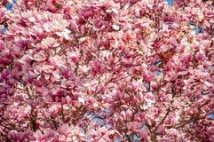 Flor rosada de la primavera foto de archivo libre de regalías