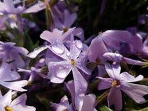 Flor rosada de la primavera Imágenes de archivo libres de regalías