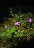 Flor rosada de la primavera en la luz del sol Fotos de archivo