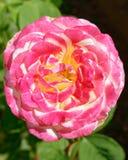Flor rosada de la rosa del blanco en el jardín foto de archivo