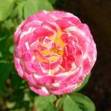 Flor rosada de la rosa del blanco en el jardín fotos de archivo libres de regalías