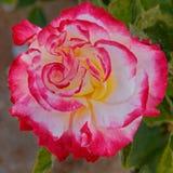Flor rosada de la rosa del blanco en el jardín fotografía de archivo