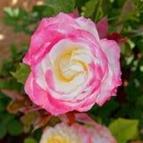 Flor rosada de la rosa del blanco en el jardín imágenes de archivo libres de regalías