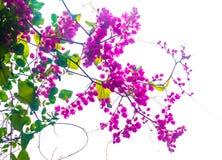 Flor rosada de la vid Imagen de archivo