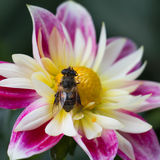 Flor rosada de las dalias con la abeja Imágenes de archivo libres de regalías