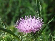Flor rosada de los cardos Fotos de archivo