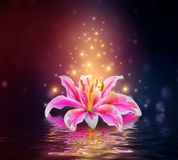 Flor rosada de los lirios en la reflexión del agua foto de archivo libre de regalías