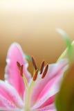 Flor rosada de los lirios (Lilium) Fotos de archivo