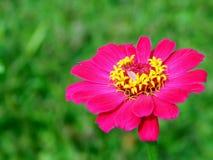 Flor rosada de los pétalos Fotografía de archivo