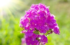 Flor rosada de los polemonios Foto de archivo libre de regalías