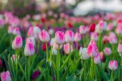 Flor rosada de los tulipanes Foto de archivo