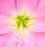 Flor rosada de los zephyranthes (lirio de la lluvia) Fotos de archivo