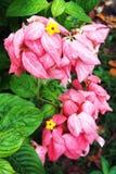 Flor rosada de Mussaenda Imagen de archivo libre de regalías
