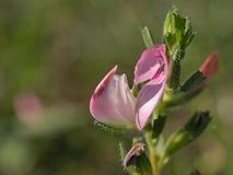 Flor rosada de Restharrow Imagen de archivo