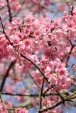 Flor rosada de Sakura Fotos de archivo libres de regalías