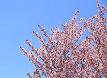 Flor rosada de sakura Fotografía de archivo
