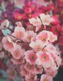 Flor rosada de sakura Foto de archivo