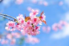 Flor rosada de sakura Fotografía de archivo libre de regalías
