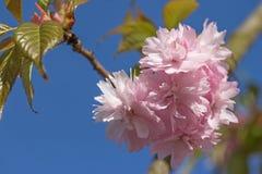 Flor rosada de Sakura floreciente Imágenes de archivo libres de regalías