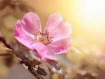Flor rosada de un dogrose Imagenes de archivo