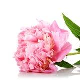 Flor rosada de una peonía. Imagenes de archivo