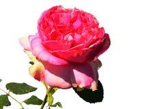 Flor rosada de Walzertraum color de rosa, Evers 2003 con las hojas y tallo visible en el fondo blanco Fotografía de archivo
