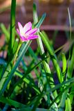 Flor rosada de Zephyranthes, cierre para arriba, nombres comunes para las especies adentro Imágenes de archivo libres de regalías