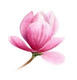 Flor rosada del árbol de la magnolia o de tulipán Imágenes de archivo libres de regalías