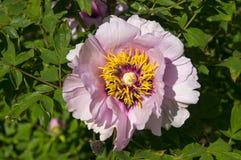 Flor rosada del árbol de la peonía Fotografía de archivo libre de regalías