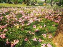 Flor rosada del árbol de trompeta Foto de archivo libre de regalías