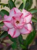 Flor rosada del Adenium fotografía de archivo