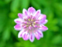 Flor rosada del altramuz Fotos de archivo libres de regalías