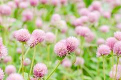 Flor rosada del amaranto de globo Imágenes de archivo libres de regalías