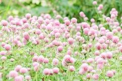 Flor rosada del amaranto de globo Fotografía de archivo