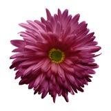 Flor rosada del aster aislada en el fondo blanco con la trayectoria de recortes Primer ningunas sombras Fotografía de archivo libre de regalías