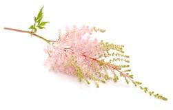 Flor rosada del Astilbe Fotografía de archivo libre de regalías
