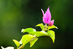 Flor rosada del Bougainvillaea Fotos de archivo libres de regalías