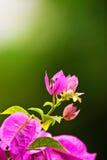Flor rosada del Bougainvillaea Fotografía de archivo libre de regalías
